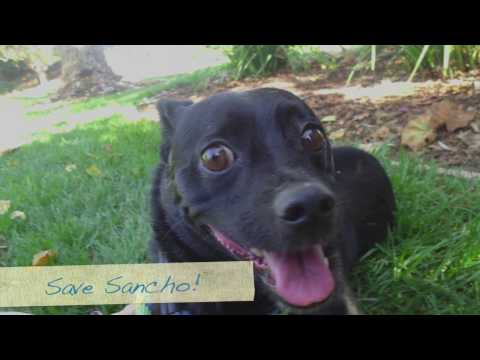 Please Save Sancho! Schipperke Mix By November 17th!
