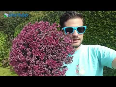 Plantipp presents Sedum SunSparkler DAZZLEBERRY