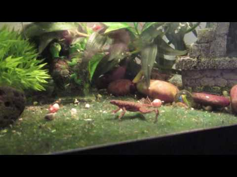 African Dwarf Frog Breeding/Eggs