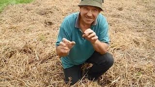 Садим картошку в траву,просто под СОЛОМУ(В этом ролике показан простой и легкий,но очень эффективный способ посадки картошки,при котором,не нужно..., 2015-06-01T05:05:16.000Z)