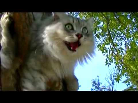 Russian Siberian Cats Go For A Walk On A Leash 2015