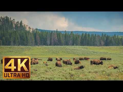 Yellowstone Bisons - Relaxing Scene in 4K Ultra HD - 40 minutes of Nature Sounds and Birds Singing