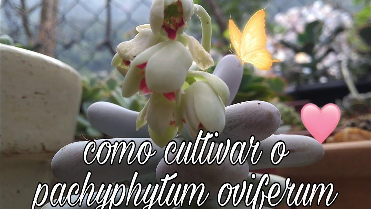 Um pouco do cultivo da suculenta pachyphytum oviferum 🌺🌵