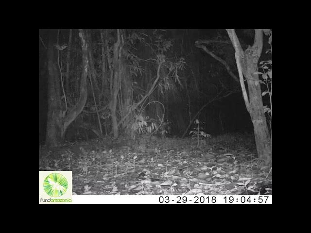 Ocelot   Leopardus pardalis2