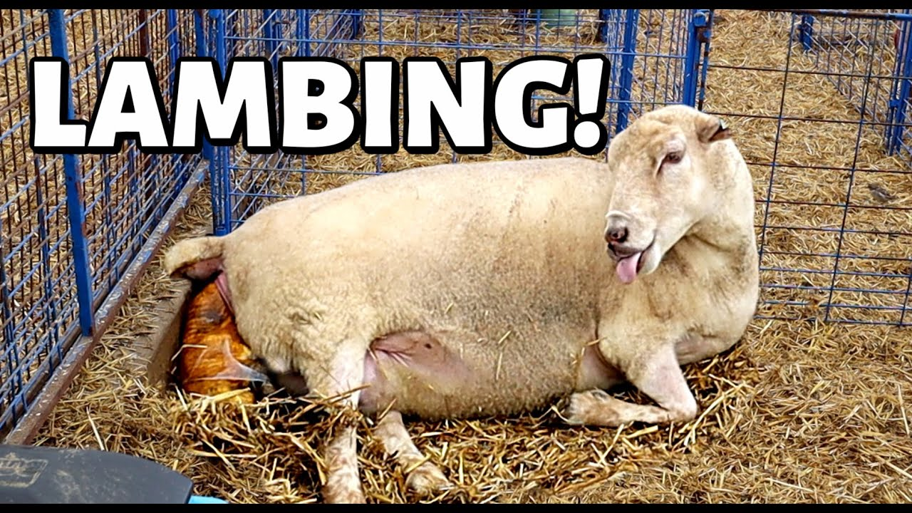 CAUGHT ON CAMERA!!  (2 Ewes LAMBING from START to FINISH!): Vlog 354