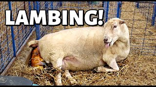 7 DAYS OF LAMBING: BONUS FOOTAGE! (2 Ewes LAMBING from START to FINISH!): Vlog 354