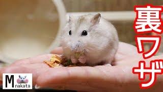 ジャンガリアンハムスターが早く懐く裏ワザ紹介!どのくらいで慣れるの?可愛い癒しおもしろ動物Can you become friends with Djungarian Hamster
