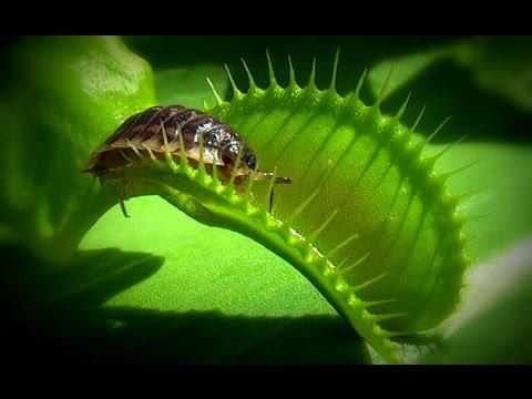 Venusasselfalle - Venus flytrap ( Venusfliegenfalle - Dionaea muscipula )