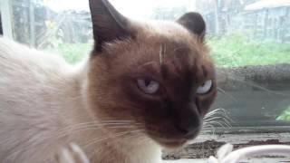Самый злой сиамский кот Кузя!