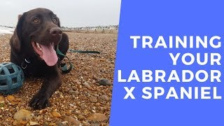 Hector- Training Your Labrador x Spaniel - 2 Weeks Residential Dog Training