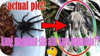 GAGAMBA SPIDERHUNTING. HERE IN THE PHILIPPINES WE USED TO HUNT AND ...