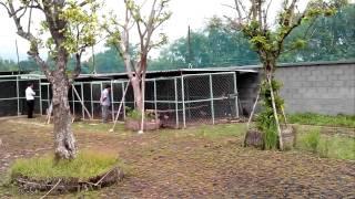 Khai Trương Royal Arowana Farm phần  6 .