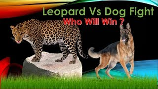 Leopard vs Dog Real Fight