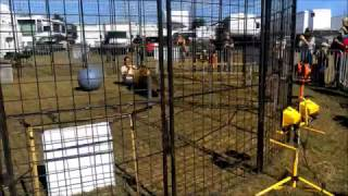 Repeat youtube video Tiger Attack!  Pensacola Interstate Fair 10/25/2016