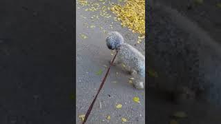 Гуляем с моей собакой  ((породы пудель)