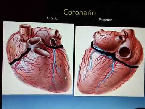 ANATOMIA EXTERNA DEL CORAZON ACTUALIZADA 2015 - YouTube