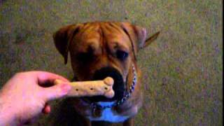 Boxer Mastiff Mix Following His Commands.