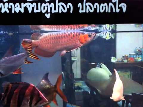 ปลามังกรแดง cv.maju