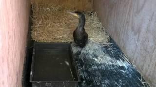 Wildlife Aid Cormorant!