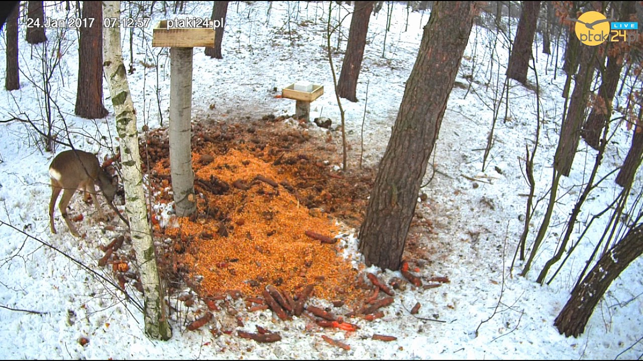 Sarna rankiem w karmisku dla zwierząt w lesie na Podkarpaciu