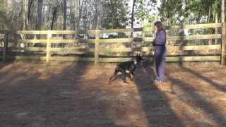 Khan Doberman Puppy Day 1: Manners Training For Play Biting, Jumping, Leash Pulling