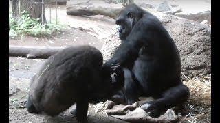 #63. So cute!! Good friend Gorilla sisters.(Komomo,Momoka)仲良しゴリラ姉妹 (コモモとモモカ)。 thumbnail