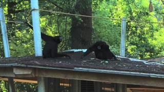 Verhuizing Siamang  | Burgers' Zoo Natuurlijk | Arnhem