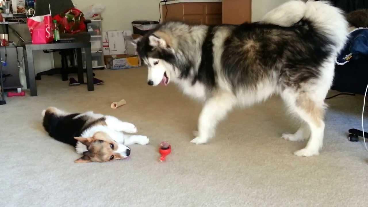 Husky and corgi play again - YouTube