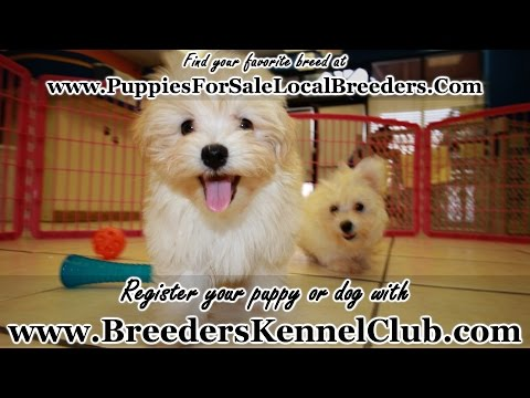 HAVANESE PUPPIES FOR SALE IN GEORGIA