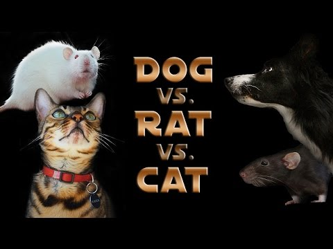 dog-vs.-rat-vs.-cat:-a-trick-contest