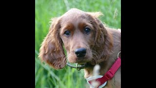 Impi - 12 Week Old Irish Setter Puppy - 3 Weeks Intensive Training