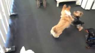 Yorkie And Corgi Playtime At Dogplay!