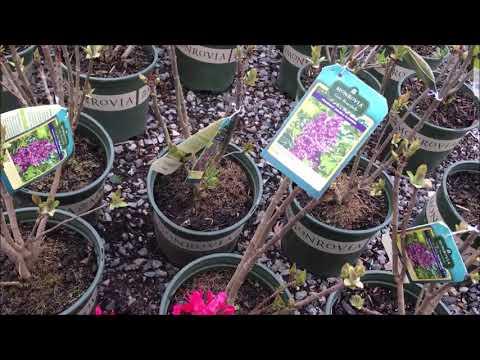 Monrovia Plants |A. Thomas & Sons Nursery and Garden Center Visit Catherine's Garden of LWS