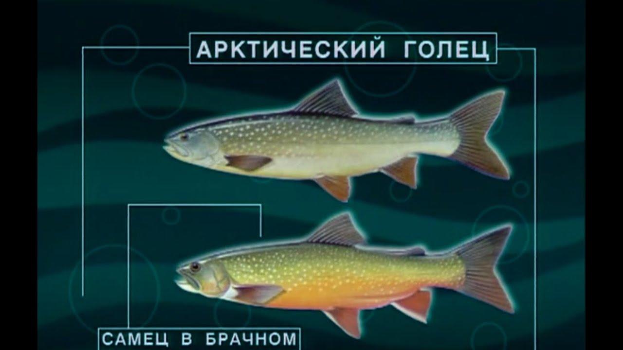 Диалоги о рыбалке - 115 - Камчатка, голец.