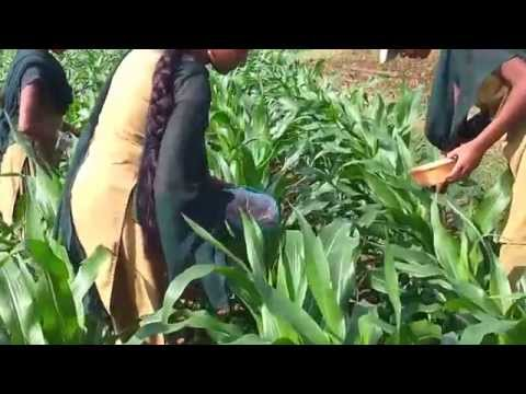 application of carbofuran granules to maize crop to control stem borers
