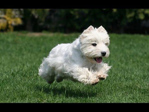 animals West Highland White Terrier Dog video