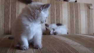 Невские маскарадные котята www.sibirushka.com Neva Masquerade kittens