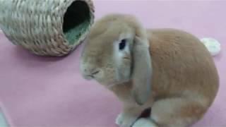 動物・専門学校・トリマー・ 動物看護師・アクアリウム・動物のお仕事・うさぎ・(ロンをカメラが追いかける) thumbnail