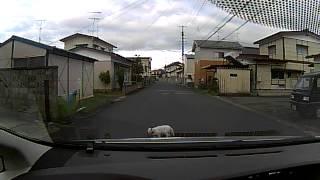 投稿者:ぶらっくさん「自車の前をゆ~~っくり歩いていく白い猫。裏道...