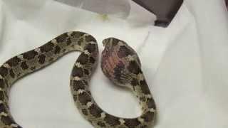 african egg eating snake eating an egg hd
