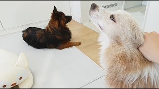 강아지들이 추석 음식을 먹고난 후