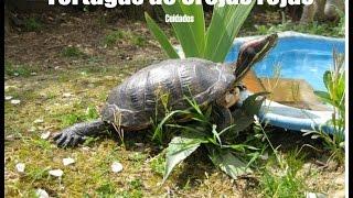 hábitat recomendado para tortuga de orejas rojas