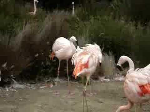 đàn chim hồng hạc