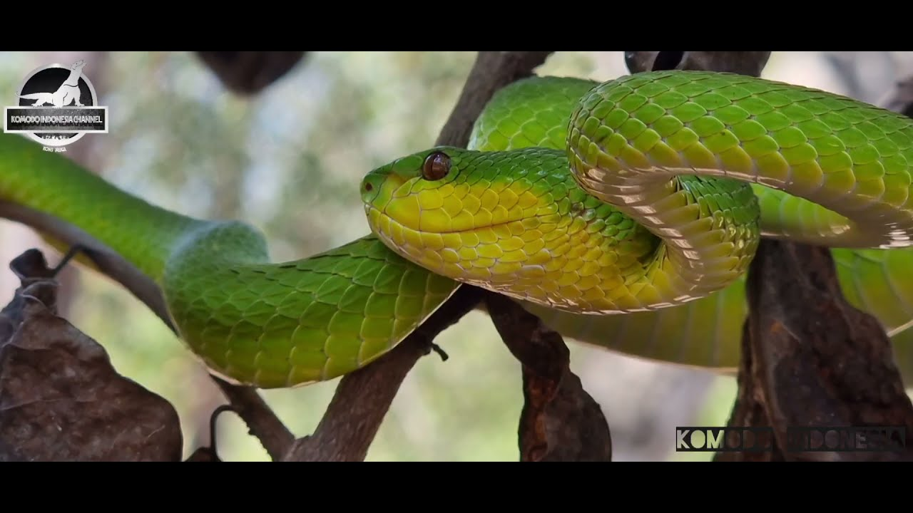Green insularis pit viper   komodo island