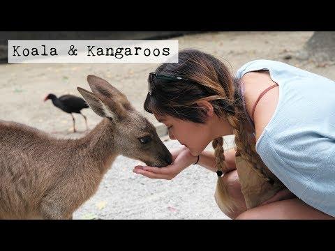 Kangaroos And Koalas In Cairns