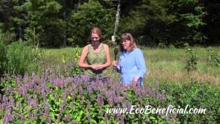 "EcoBeneficial Interview: Pollinators & Anise Hyssop -  Native vs. ""Nativar"""