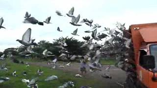 United Caloocan Pigeon Club in San Miguel Bulacan