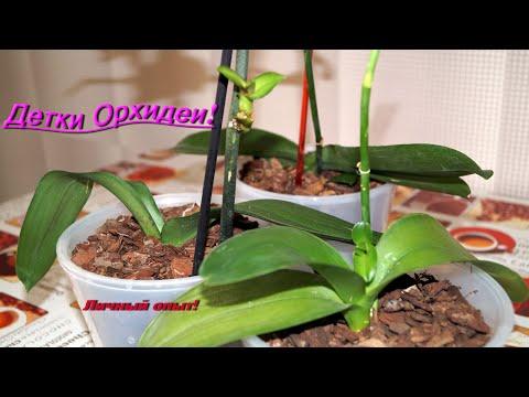 размножение орхидей фаленопсис из деток в домашних условиях фото