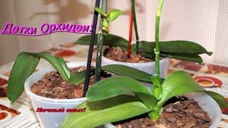 Детки Орхидей. Личный опыт от Lady Vikki.(В этом видео я расскажу и покажу как орхидея в домашних условия размножается и может подарить детку!Уход..., 2016-08-25T11:08:33.000Z)