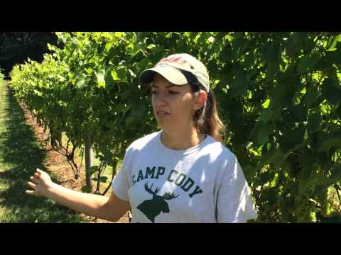 Viticulture at Jewell Towne Vineyards: Palissage and Hedging
